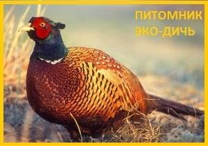 Фазан охотничий, обыкновенный Украина.